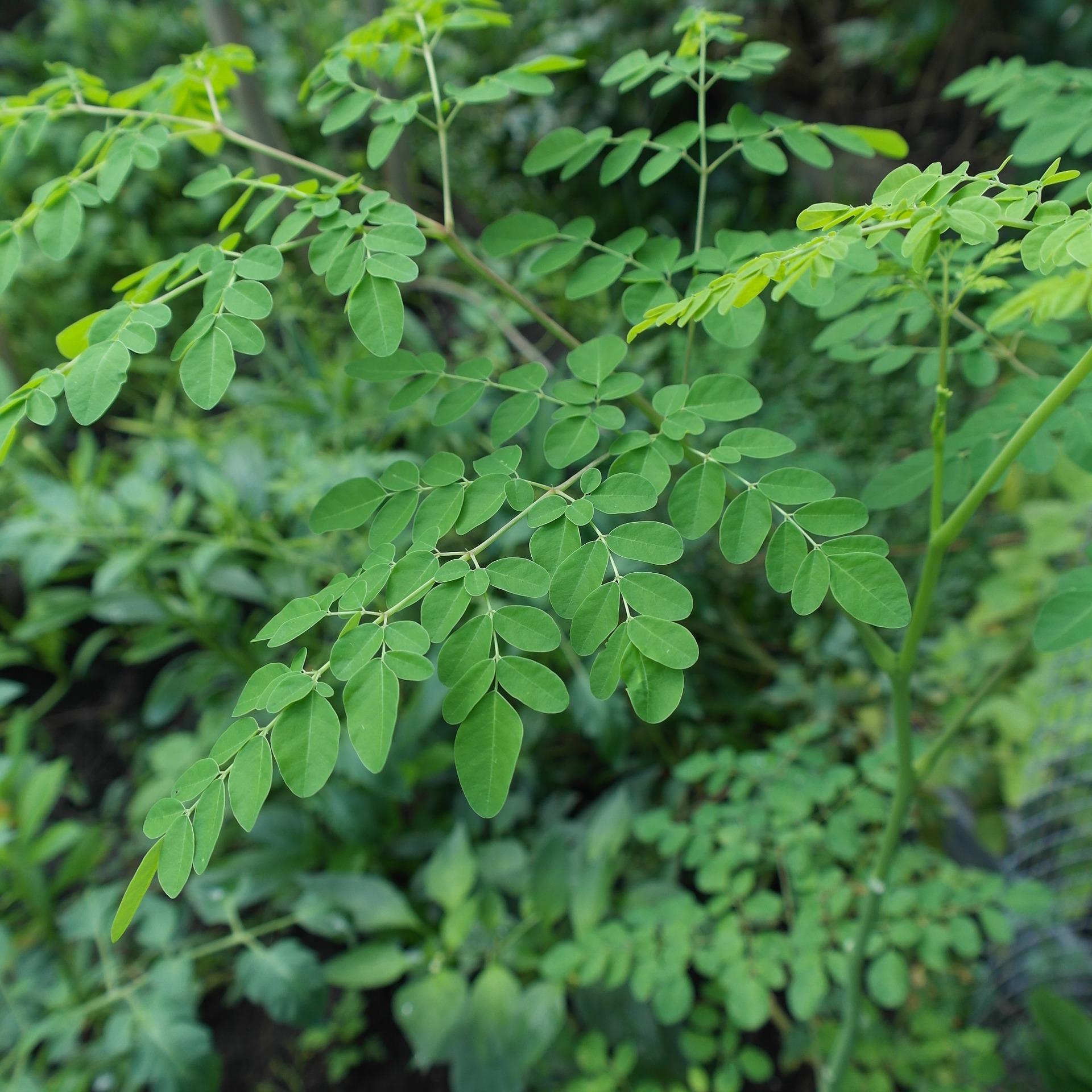 Moringa - das grüne Superfood