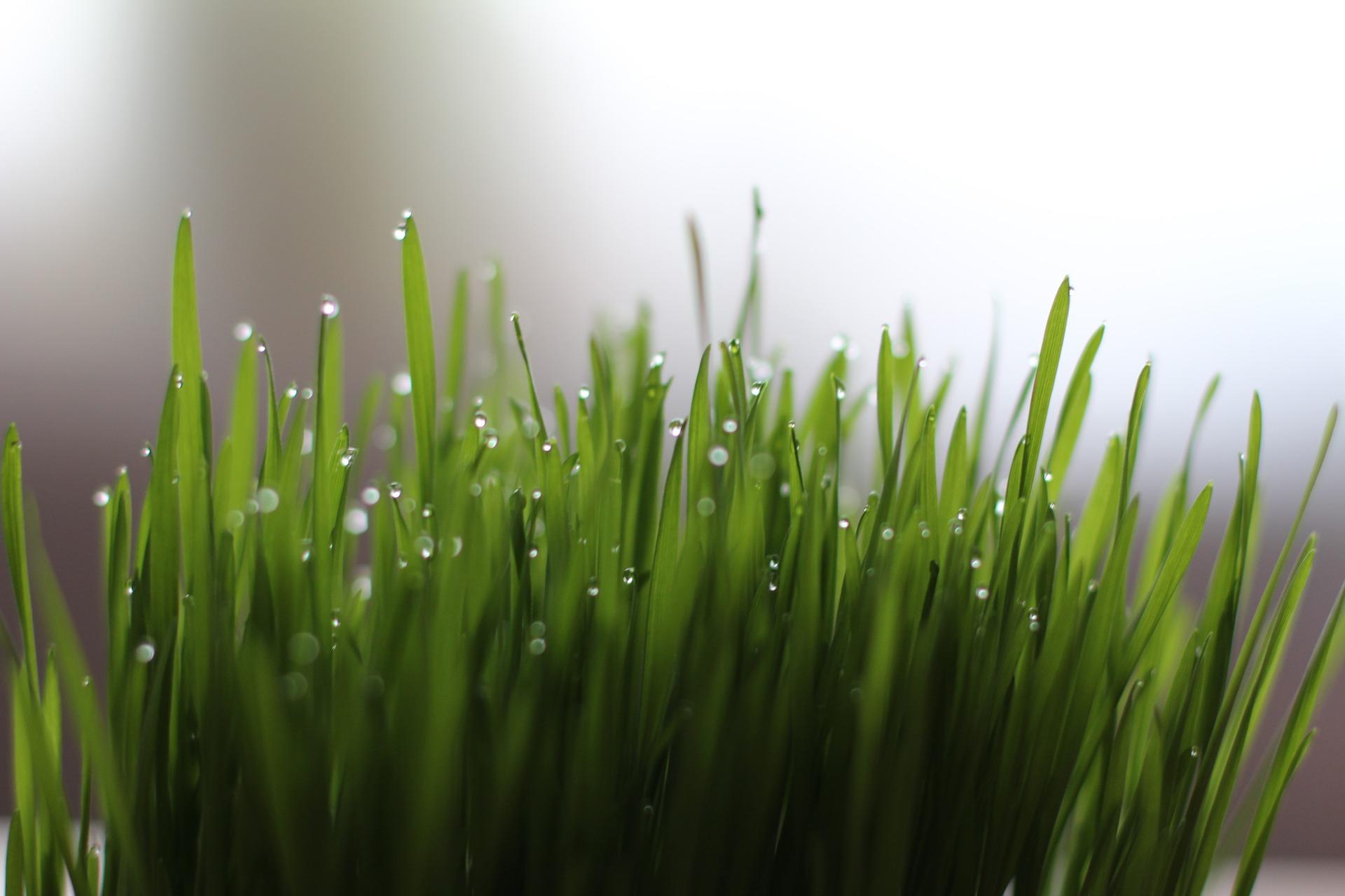 Weizengras - PURYA